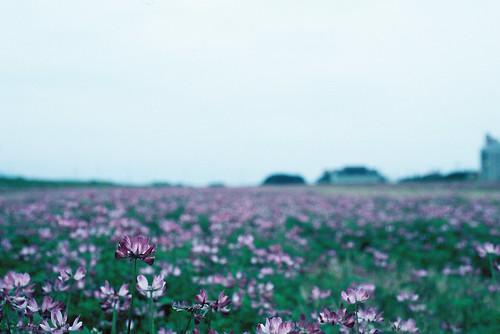 私んちのれんげ畑^^
