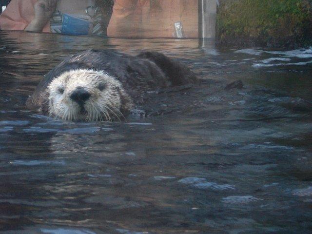 sea otter swimming