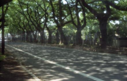 谷中霊園桜並木