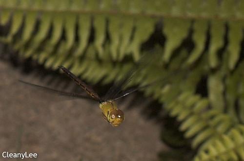 13132浡鋏晏蜓 Gynacantha bayadera 雌未熟?