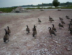 March of the Geese
