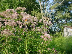 Joe Pye Weed with butterflies