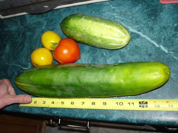 HUGE cucumber from our garden!