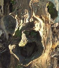 black locust log