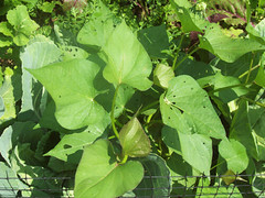 Kamote Leaves (sweet potato plant)