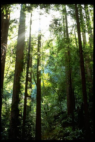 Light (Redwoods, Muir Woods)