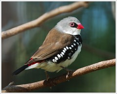 Diamond Firetail photo by iwasfixin2