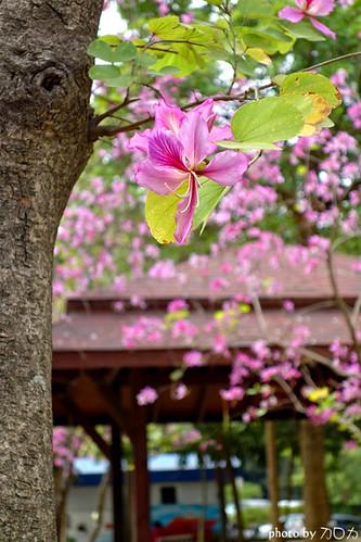 00_台南公園羊蹄甲