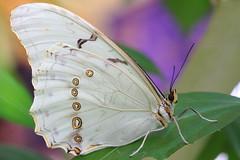 Morpho polyphemus ~ The White Morpho Butterfly ! photo by Kap'n'Kaos~Too
