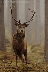 Red Deer in the Mist photo by GreenDreamsPhotography