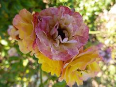 Quatre roses... Four roses...  P1010468 photo by  RêveOcéanOceanDream