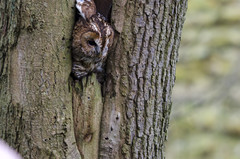 Owl Leaving The Nest photo by Elliot young