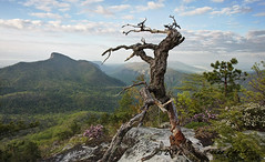 Ancient Pine on Hawksbill Mountain photo by R. Keith Clontz