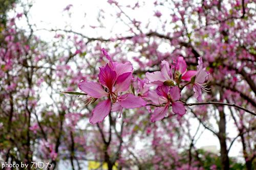21_台南公園羊蹄甲