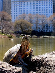 Fame Seeking Turtle in Central Park photo by Eddie C3