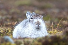 Mountain Hare - Lepus timidus photo by Lyle McCalmont