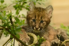 Mountain Lion Cub in Tree photo by Ami 211