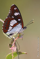 Limenitis Reducta..or just a beautiful butterfly .. photo by tolis*