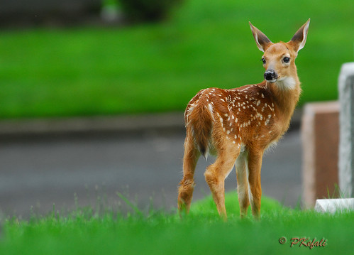 2012 Fawns photo by pkefali (On/Off)