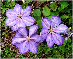 Clematis Plant . photo by ** Janets Photos **