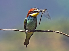 "*Merops apiaster*. ""2nd"" in 33 Contest of Nature´s Platinum Carousel 09/2012. photo by CANóNIGA"