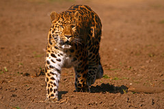 Amur Leopard photo by jackie#1981