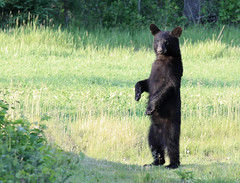 Black Bear  Walking Tall photo by Lifeinthenorthwoods.com