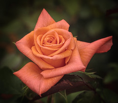 Rose_1680 photo by browneyes1971