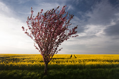 a tree, rapeseed and tracks photo by skoeber