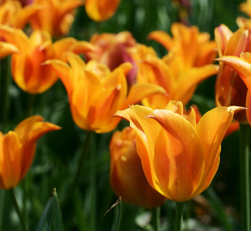 Orange Tulips photo by j man.