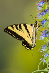 tiger swallowtail butterfly photo by Eric 5D Mark III