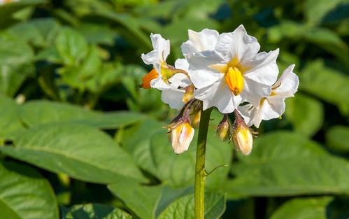 Bloeiende aardappelplant - Flowering potato plant photo by RuudMorijn