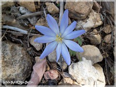 Mountain Peony (Anemone blanda) photo by Ali Ziya Çamur