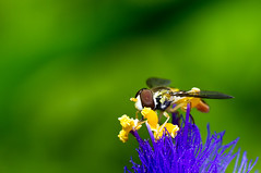 hoverfly on spiderwort photo by loco's photos