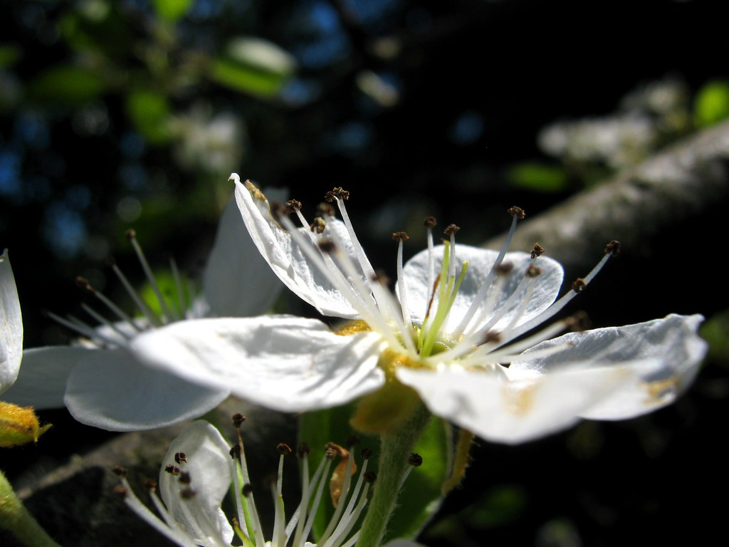 pear flowers photo by ΞSSΞ®®Ξ