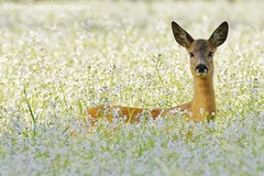 Roe Deer in Flower Field photo by GreenDreamsPhotography