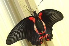 Papilio rumanzovia ~ Scarlet Swallowtail Butterfly ! photo by Kap'n'Kaos~Too