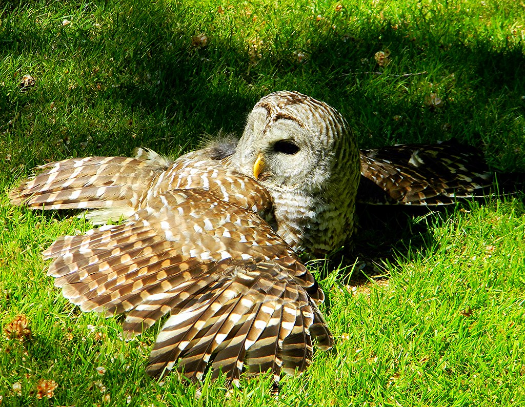 Barred Owl photo by careth@2012