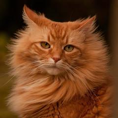 Orange Cat photo by David McCudden