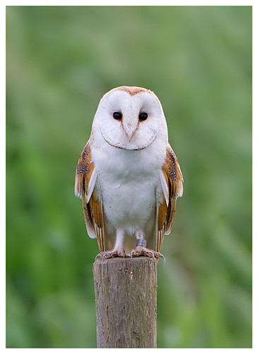 Barn Owl photo by Pete Walkden