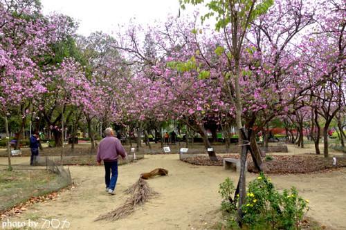 12-1_台南公園羊蹄甲