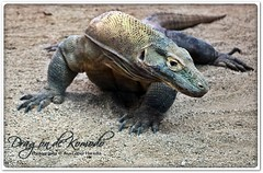 Dragón de Komodo (Varanus komodoensis) photo by Ana López Heredia
