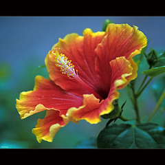 Brilliant Hibiscus photo by -clicking-