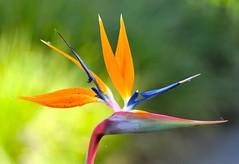 "Strelitzia, ""the bird of paradise flower"" photo by cowboy6688"