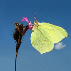 Dinner for One - Common Brimstone (Gonepteryx rhamni) on flowering Meadow photo by Batikart ... handicapped ... sorry for no comments