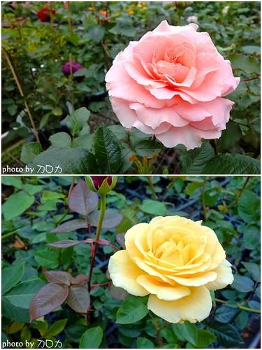 40_台北士林社子台北花卉村玫瑰