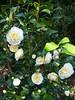 C. japonica 'Brushfield Yellow' (2)
