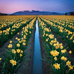 Skagit Valley Daffodils photo by Deej6