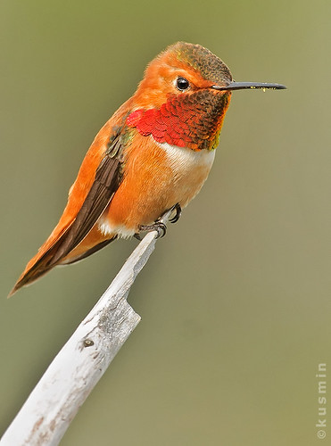 rufous hummingbird (selasphorus rufus) photo by punkbirdr