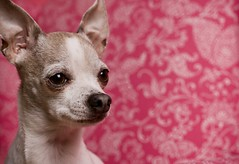 Chihuahua in front of pink background photo by nmariephoto